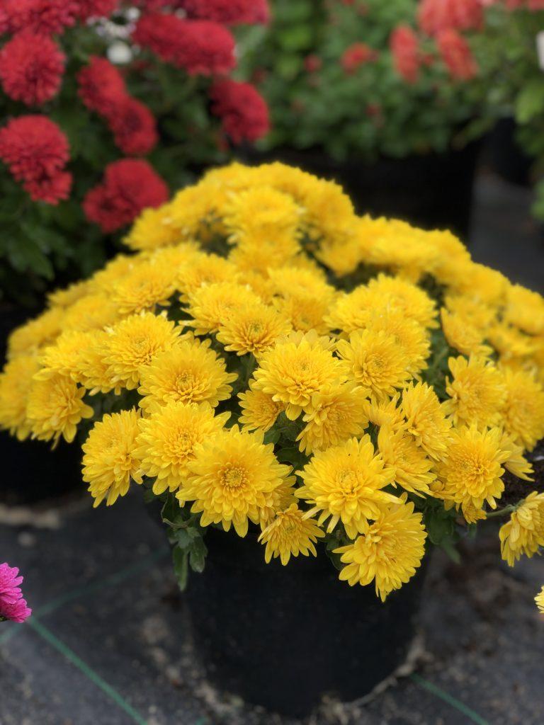 хризантема-мультифлора